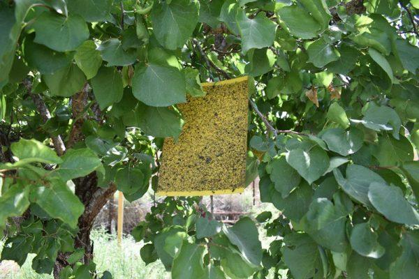מדבקות צהובות נגד זבובים